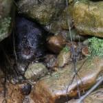 Restoring Ratty- bringing the water vole back to Kielder!