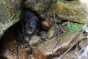 Water vole in Kielder Water & Forest Park credit Katy Cook