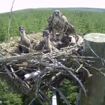10 years of ospreys at Kielder!
