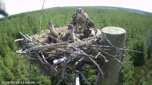 Nest 1a chicks 2018 credit Forestry Commission England