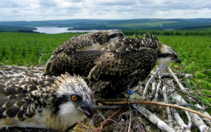 Osprey chicks on next 1 Forestry Commission England
